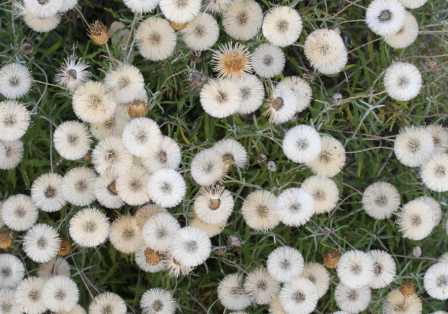 Phagnalon rupestre - Gewöhnliche Steinimmortelle -  - Gras- und Felsfluren - grassy and  rocky terrains