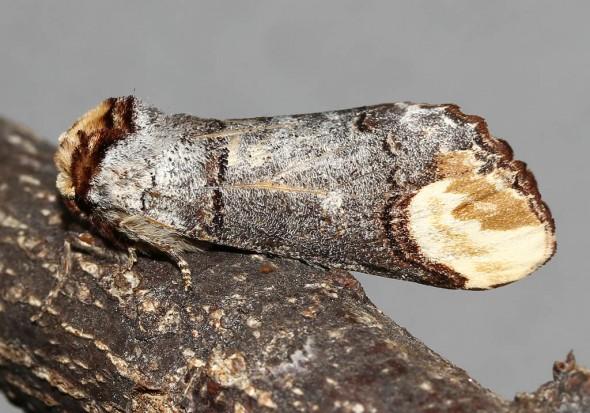 Phalera bucephala - Mondvogel -  - Notodontidae - Zahnspinner
