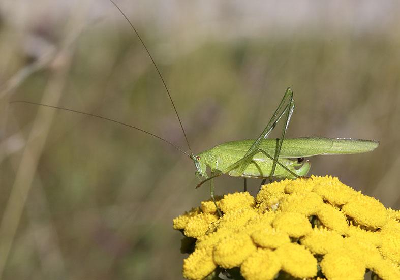 Phaneroptera falcata - Gemeine Sichelschrecke -  - Tettigoniidae - Laubheuschrecken - bush crickets