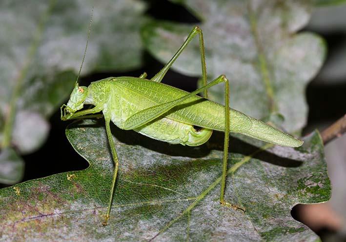 Phaneroptera nana  - Vierpunkt-Sichelschrecke -  - Tettigoniidae - Laubheuschrecken - bush crickets
