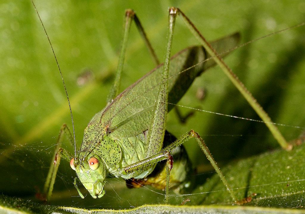 Phaneroptera nana - Vierpunkt Sichelschrecke -  - Tettigoniidae - Laubheuschrecken - bush crickets