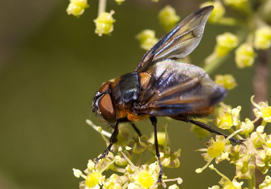 Phasia hemiptera   - Fam. Tachinidae - Schmarotzerfliegen - Brachycera (Fliegenartige) - Schizophora - muscoids