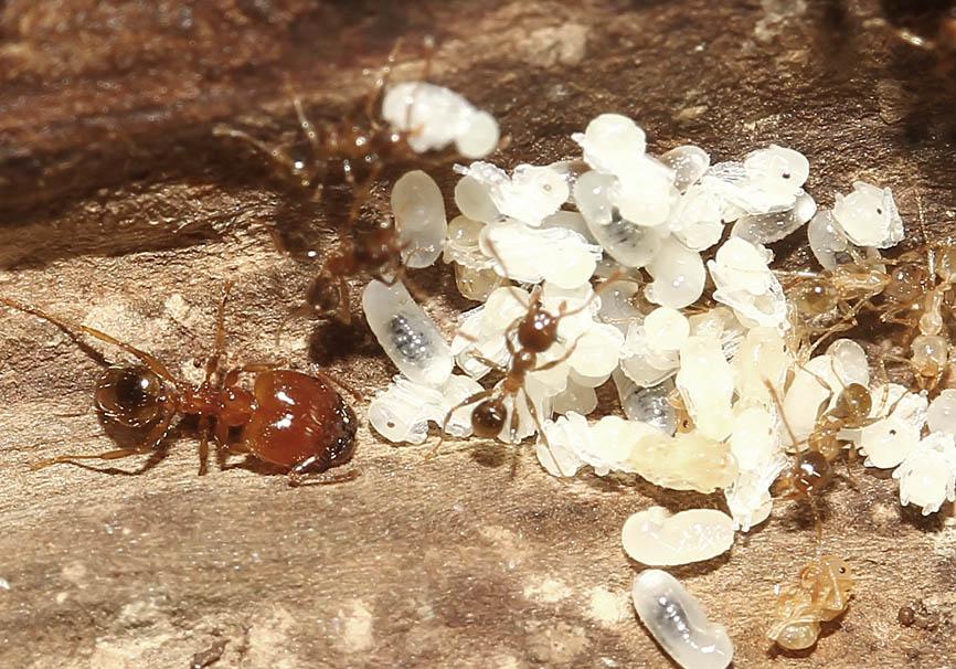 Pheidole pallidula - Korfu - Formicidae - Ameisen - Ants