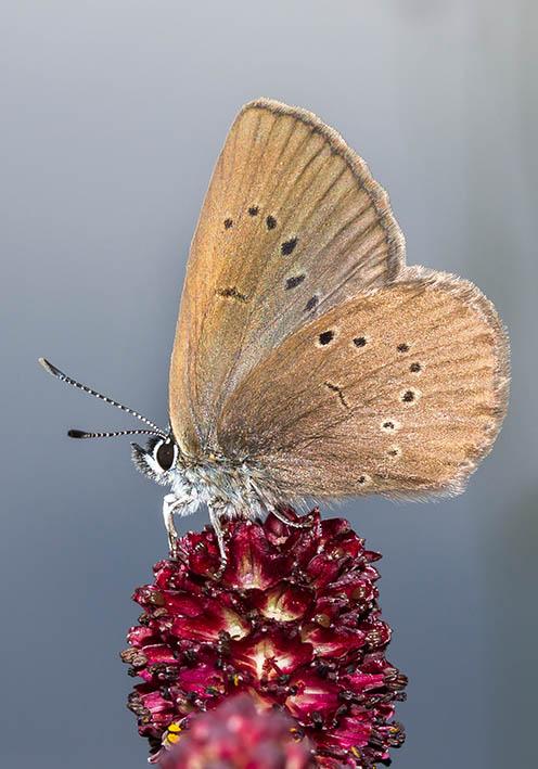 Phengaris nausithous - Dunkler Wiesenkopf-Ameisenbläuling -  - Lycaenidae - Bläulinge - gossamer-winged butterflies
