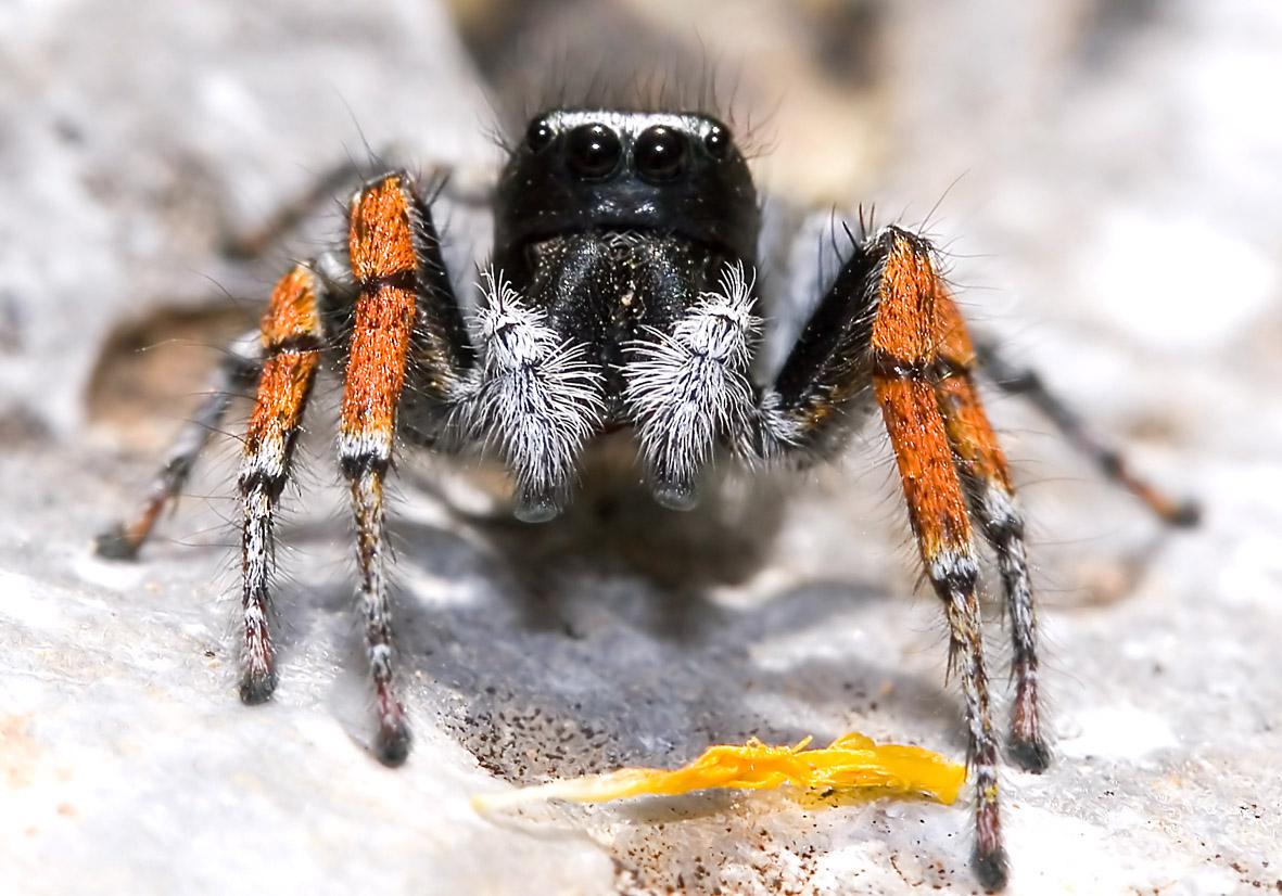 Philaeus chrysops - Goldaugen-Springspinne (männlich) - Fam. Salticidae  -  Amorgos - Araneae - Webspinnen - orb-weaver spiders