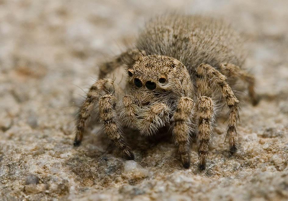 Philaeus crysops  - Fam. Salticidae  -  female (Amorgos) - Araneae - Webspinnen - orb-weaver spiders