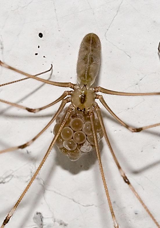 Pholcus phalangioides - Große  Zitterspinne mit Eipaket - Fam.  Pholcidae  - Zitterspinnen - Araneae - Webspinnen - orb-weaver spiders