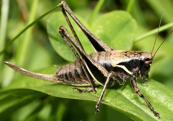 Pholidoptera aptera - Alpen-Strauchschrecke - Fam. Tettigoniidae - Tettigoniidae - Laubheuschrecken - bush crickets