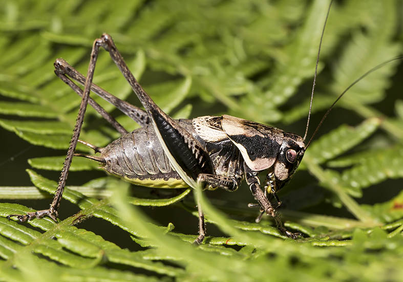 Pholidoptera cf. macedonica (male) - Zagori (Griechenland) - Ensifera - Tettigonidae - Laubheuschrecken - bush crickets