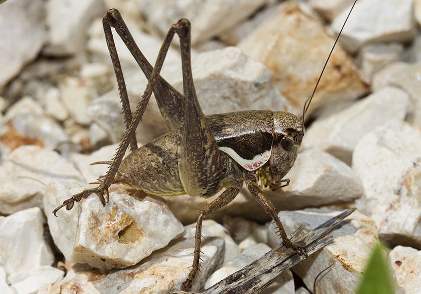 Pholidoptera femorata - Epirus - Griechenland - Ensifera - Tettigonidae - Laubheuschrecken - bush crickets