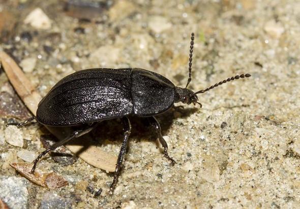 Phosphuga atrata - Schwarzer Schneckenjäger - Fam. Silphidae - Aaskäfer - weitere Käferfamilien - other beetle families