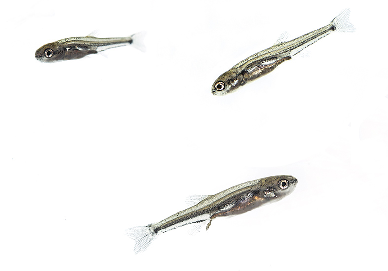 Phoxinus phoxinus  fry  -  Elritzen -  - Cypriniformes - Karpfenartige