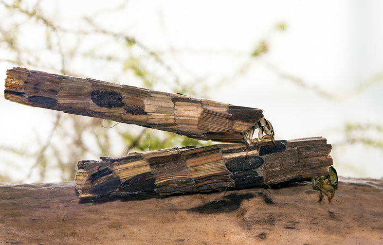 Phryganea grandis -  - Trichoptera - Köcherfliegen - daddisflies