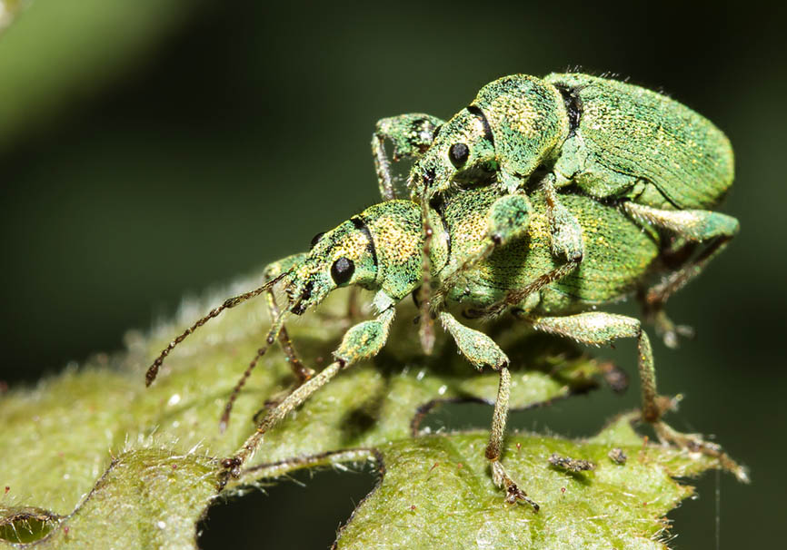 Phyllobius arborator - Grünrüßler -  - Curculionidae - Rüsselkäfer - weevils