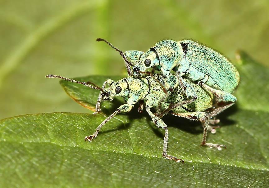 Phyllobius sp. -  - Curculionidae - Rüsselkäfer - weevils