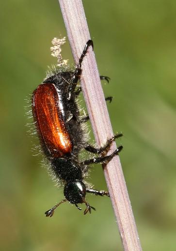 Phyllopertha horticola - Gartenlaubkäfer - Fam. Rutelidae - Scarabaeoidea - Blatthornkäfer - scarab beetles