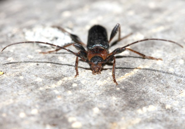 Phymatodes testaceus - Veränderlicher Schönbock - UFam. Cerambycinae - Cerambycidae - Bockkäfer - long-horned beetles