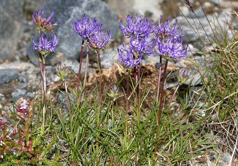 Phyteuma hemisphaericum- Halbkugelige Teufelskralle - Fam. Campanulaceae - Alpine Rasen - alpine grassland