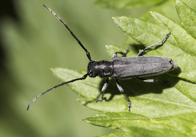 Phytoecia nigricornis  - Schwarzhörnige Walzenhalsbock - UFam.  Lamiinae  -  Zagori (Griechenland) - Cerambycidae - Bockkäfer - long-horned beetles