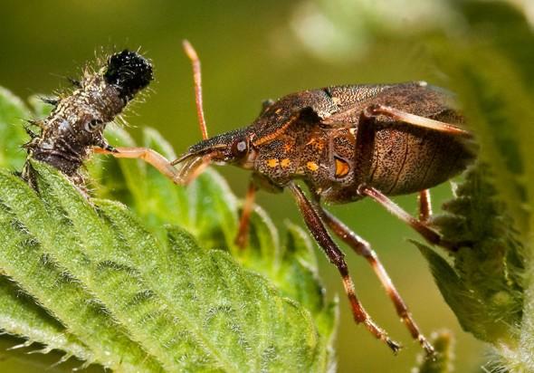 Picromerus bidens - Zweizähnige-Dornwanze - Fam. Pentatomidae - Baumwanzen - Heteroptera - Wanzen - true bugs