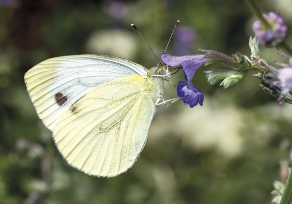 Pieris brassicae - Großer Kohlweißling -  - Pieridae - Weißlinge - whites