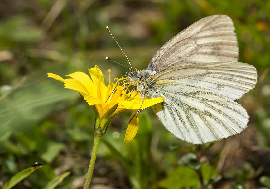 Pieris bryoniae  (female)  - Bergweißling -  - Pieridae - Weißlinge - whites