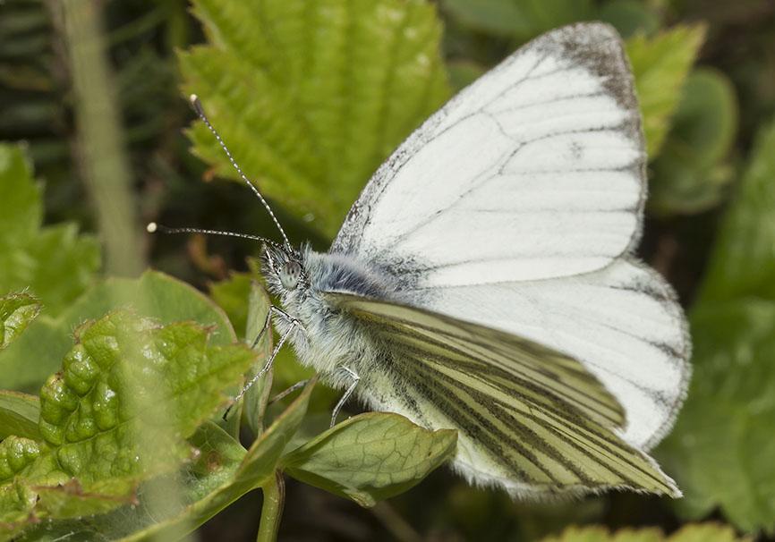 Pieris  bryoniae (male) - Bergweißling -  - Pieridae - Weißlinge - whites