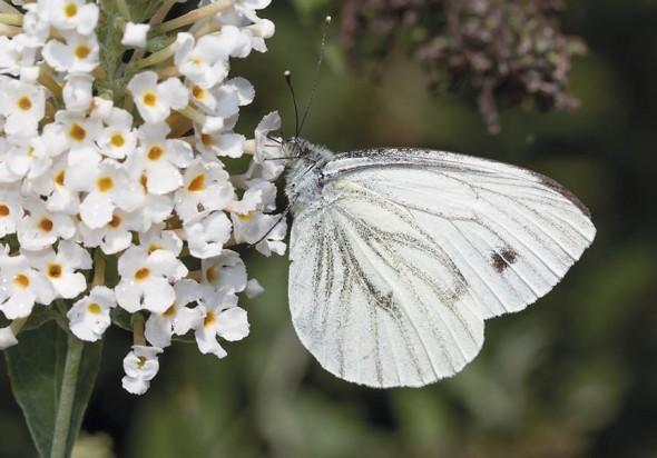 Pieris napi - Rapsweißling -  - Pieridae - Weißlinge - whites