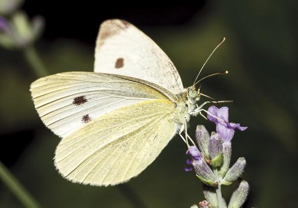 Pieris rapae - Kleiner Kohlweißling -  - Pieridae - Weißlinge - whites