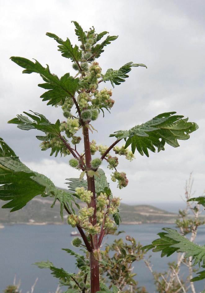 Urtica pilulifera - Pillenbrennessel - Roman nettle -  - Ruderal vegetation