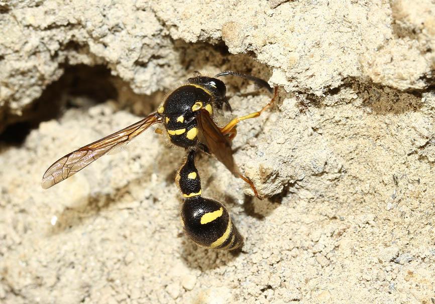Eumenes sp. - Pillenwespe -  - Vespidae - Faltenwespen - wasps