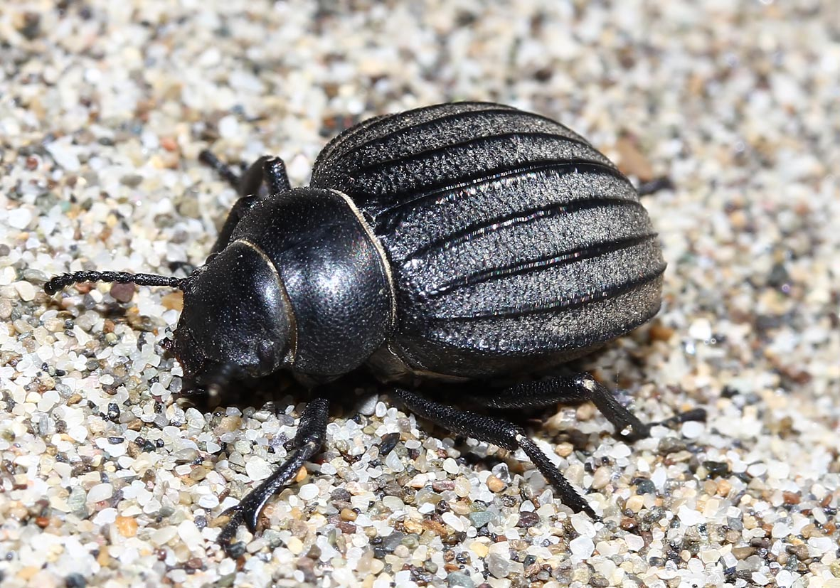 Pimelia bipunctata - Toscana - Tenebrionidae - Schwarzkäfer - darkling beetles