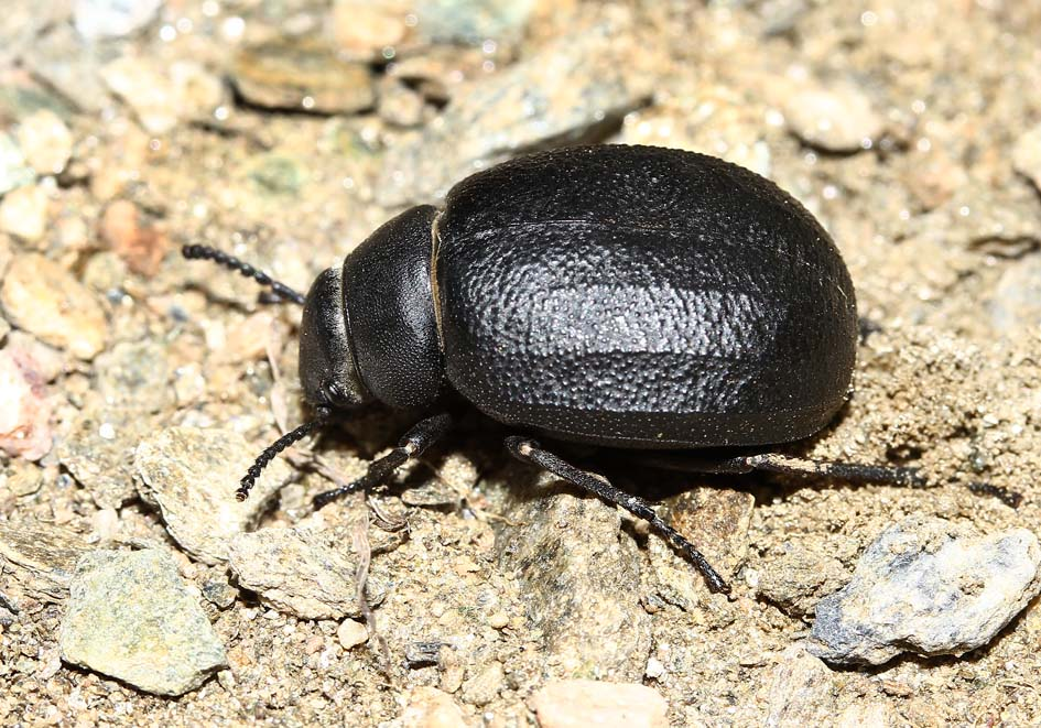 Pimelia subglobosa  - Andros, Lesbos - Tenebrionidae - Schwarzkäfer - darkling beetles