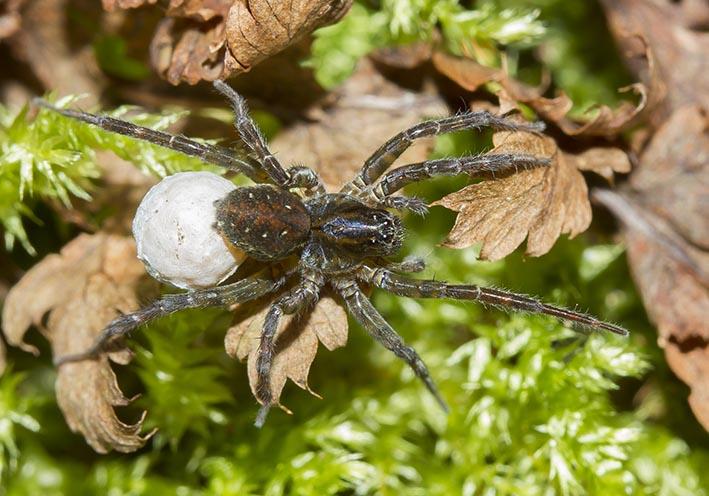 Pirata hygrophilus - Fa. Lycosidae - Wolfsspinnen - Araneae - Webspinnen - orb-weaver spiders