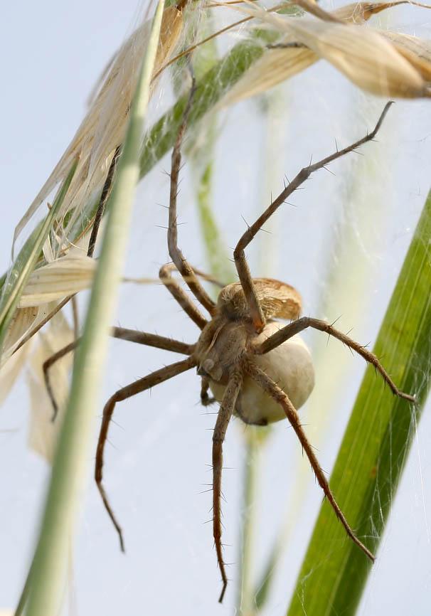 Pisaura mirabilis (Listspinne) - Fam. Pisauridae  -   Kroatien - Araneae - Webspinnen - orb-weaver spiders