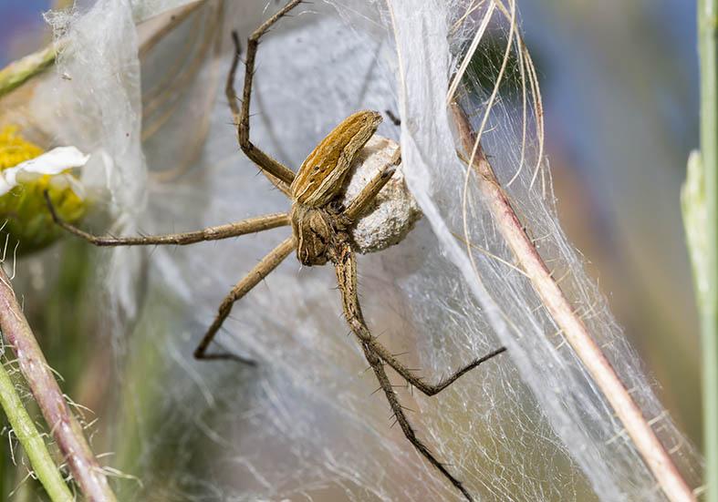 Pisaura mirabilis  - Listspinne - Fam. Pisauridae  -   Kroatien - Araneae - Webspinnen - orb-weaver spiders