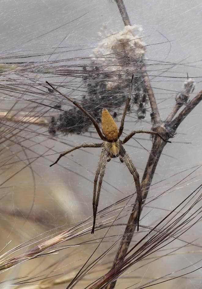 Pisaura mirabilis - Listspinne - Fam. Pisauridae  -   Samos - Araneae - Webspinnen - orb-weaver spiders