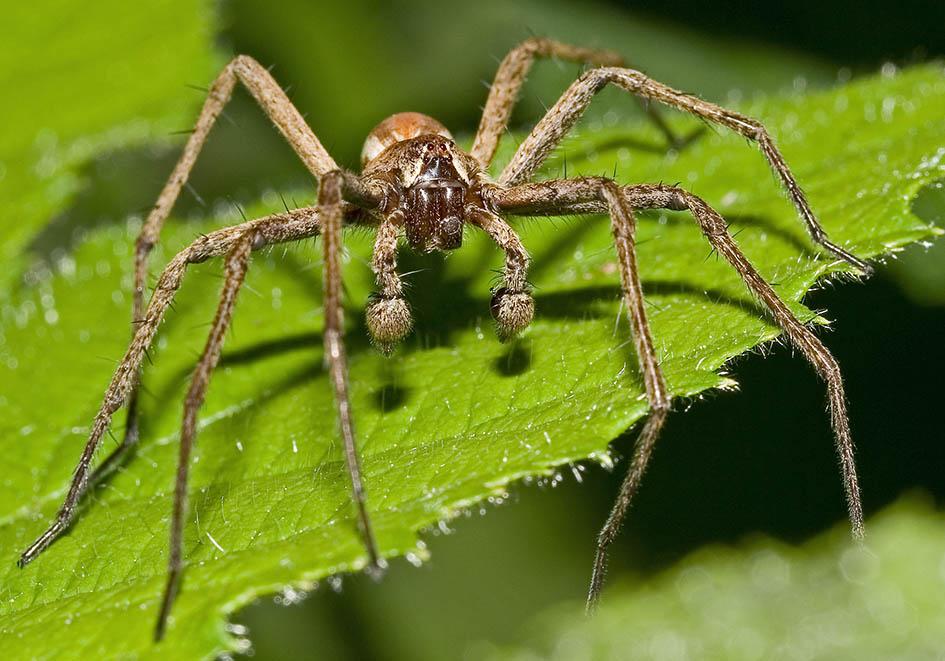 Pisaura mirabilis - Raubspinne - Fam. Pisauridae - Raubspinnen - Araneae - Webspinnen - orb-weaver spiders