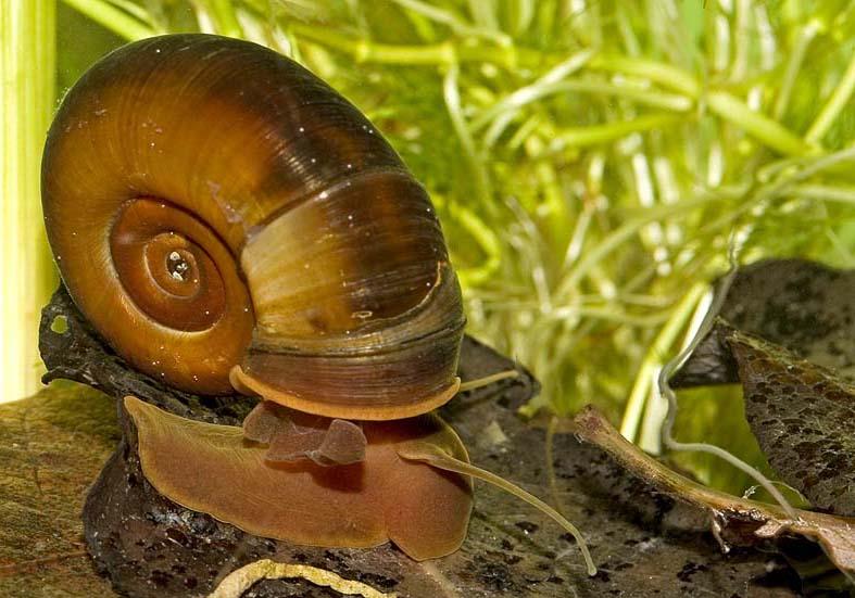 Planorbarius corneus - Posthornschnecke - Fam. Planorbidae - Tellerschnecken - Basommatophora - Wasserlungenschnecken