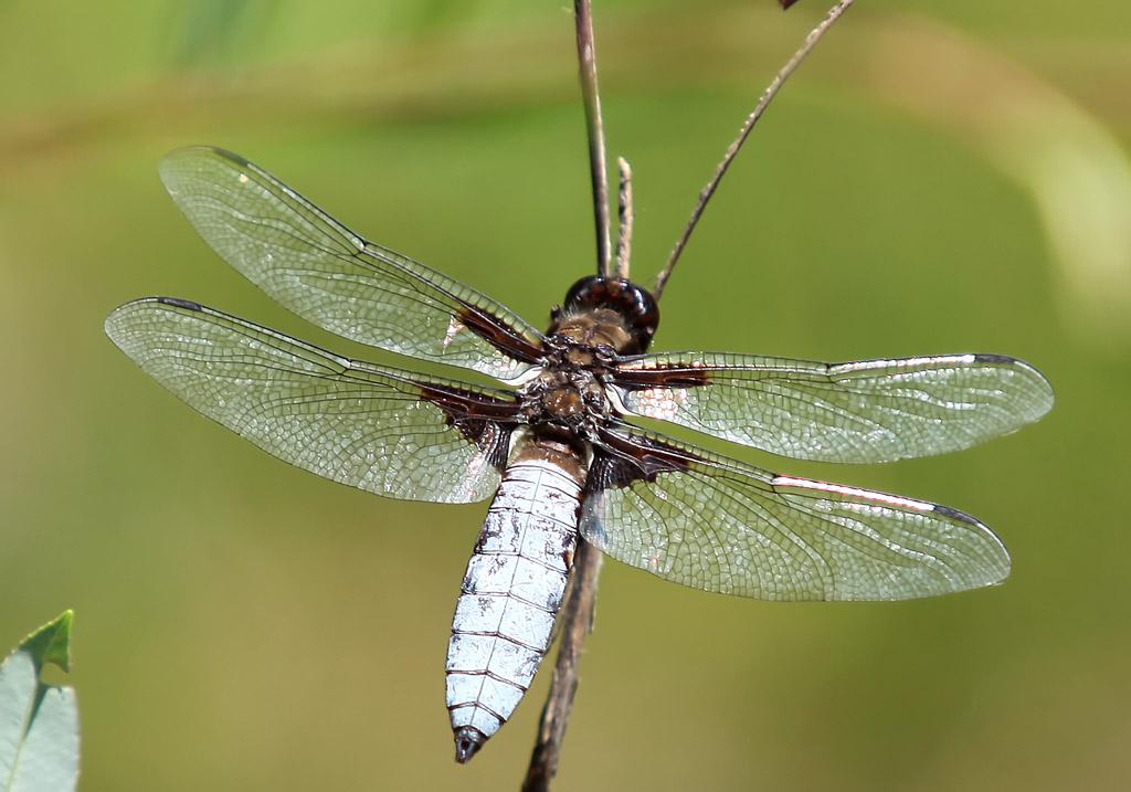 Libellula depressa - Plattbauch (male) - Fam. Libellulidae - Segellibellen - Anisoptera - Großlibellen - dragonflies