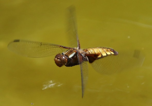 Plattbauch - Libellula depressa - Fam. Libellulidae - Segellibellen - Anisoptera - Großlibellen - dragonflies