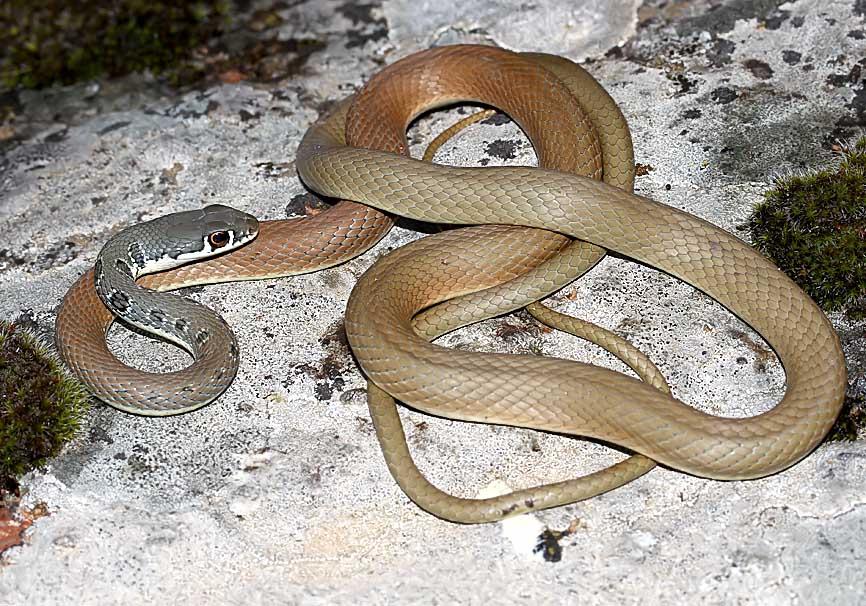 Platyceps najadum   Schlanknatter - Lesbos - Serpentes - Schlangen - snakes
