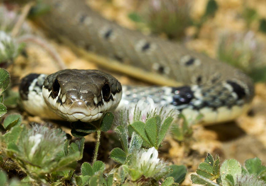 Platyceps najadum   -  Schlanknatter - Meteora - Thessalien - Serpentes - Schlangen - snakes