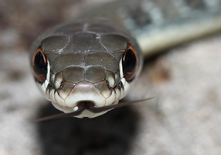 Platyceps najadum - Schlanknatter - Lesbos - Serpentes - Schlangen - snakes