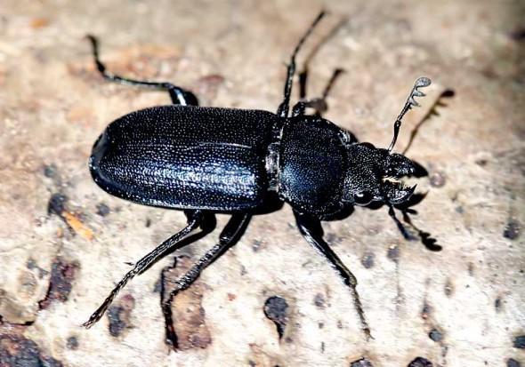 Platycerus caraboides - Kleiner Rehschröter -  - Lucanidae - Schröter - stag beetles
