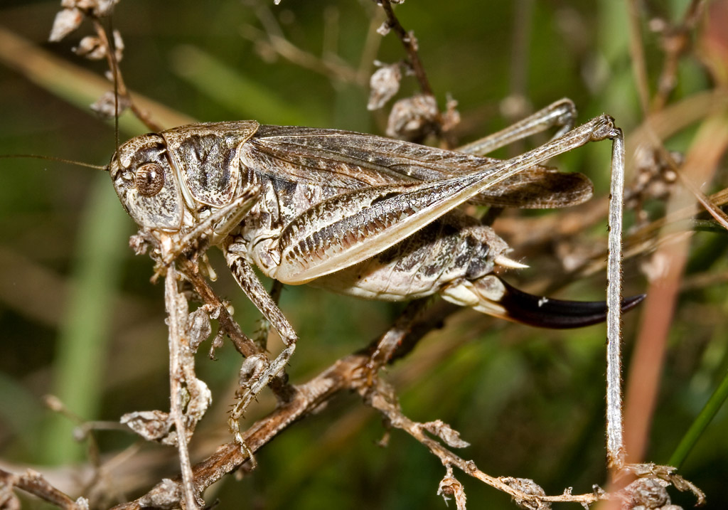 Platycleis grisea -  Graue Beißschrecke - Fam. Tettigoniidae - Tettigoniidae - Laubheuschrecken - bush crickets