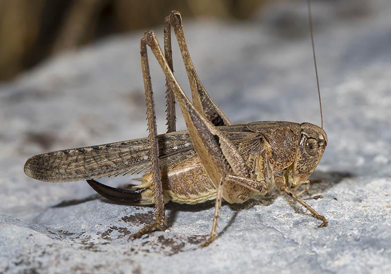 Platycleis intermedia (female) - Pilion (Griechenland) - Ensifera - Tettigonidae - Laubheuschrecken - bush crickets