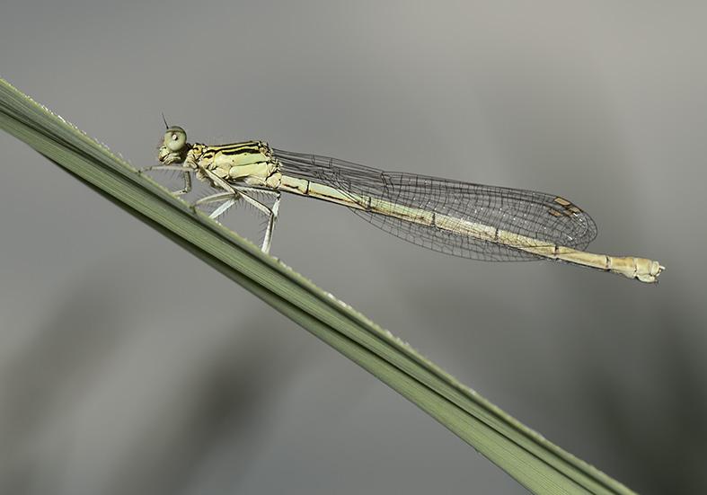 Platycnemis pennipes female -  Blaue Federlibelle - Fam. Platycnemididae - Zygoptera - Kleinlibellen - damselflies