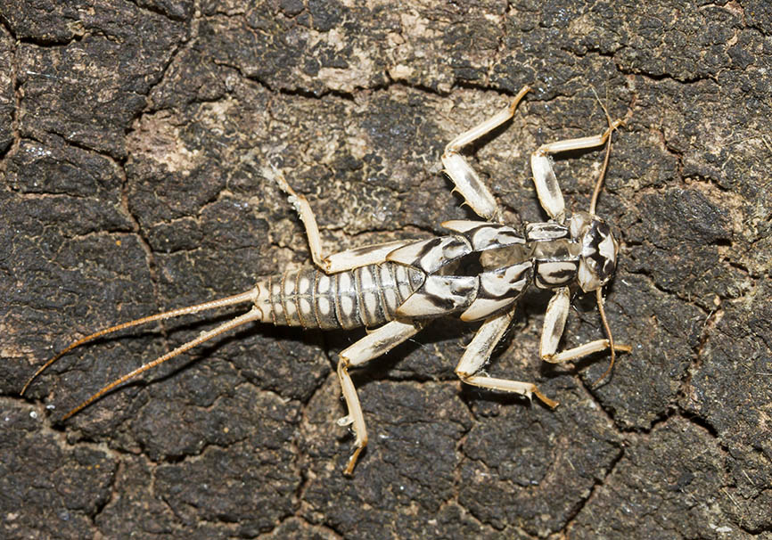 Plecoptera - Exuvie - Steinfliege - Zagori - Epirus - Aquatic insects