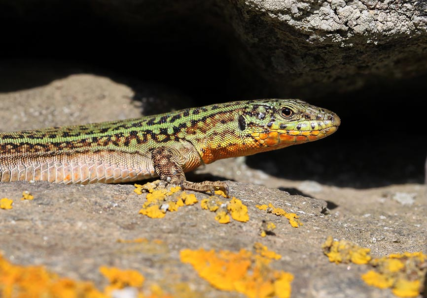 Podarcis erhardii  - Kykladeneidechse - Andros - Lacertidae - Eidechsen - Lizards